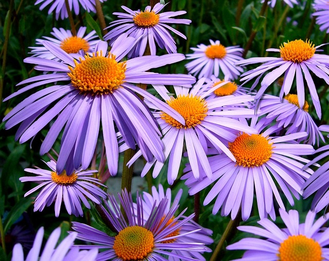 Asters in your fall garden
