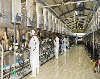 Tuyển 21 nam lao động làm công việc chăn nuôi, vắt sữa bò tại Hokkaido Nhật Bản