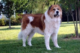 Caucasian Shepherd Dog-pets-dog breeds