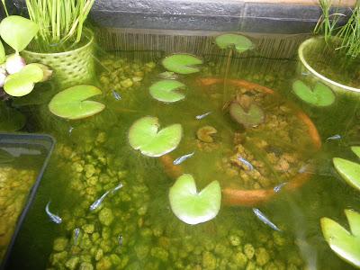 藻 アオミドロ
