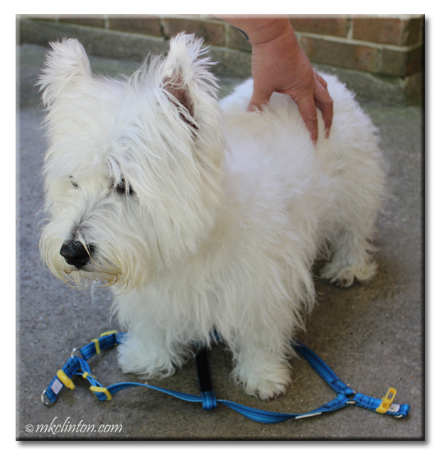 Pierre Westie demonstrates stepping in PrideBites harness