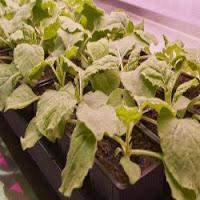 Descoberta feita em estudo com planta do tabaco pode transformar produção de vacinas