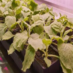Como cientistas 'enganaram' plantas para fabricar vacina