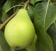 Foto de una pera verde inmadura