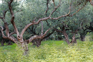 Olives, island of Zakynthos, Greece. Оливы, остров Закинф, Греция