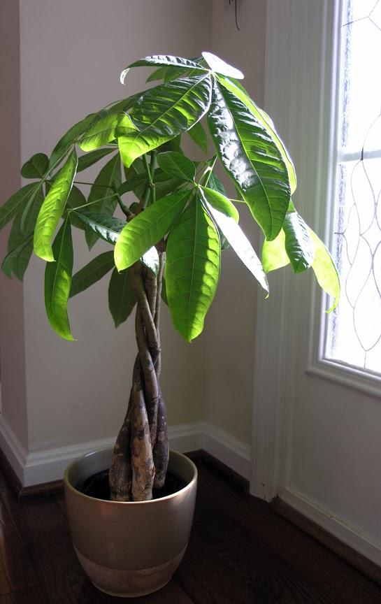 moneytree Pachira Aquatica Houseplants on i knew i in aquatica, roa's rapids aquatica, florida park map aquatica,