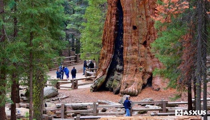 10 Pohon Terbesar di Dunia Yang Pernah Ada dan Masih Hidup Saat Ini