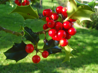 Fruto del acebo (Ilex aquifolium)