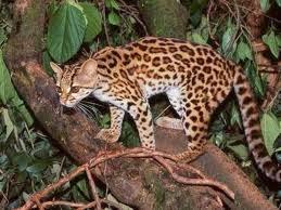 kucing margay