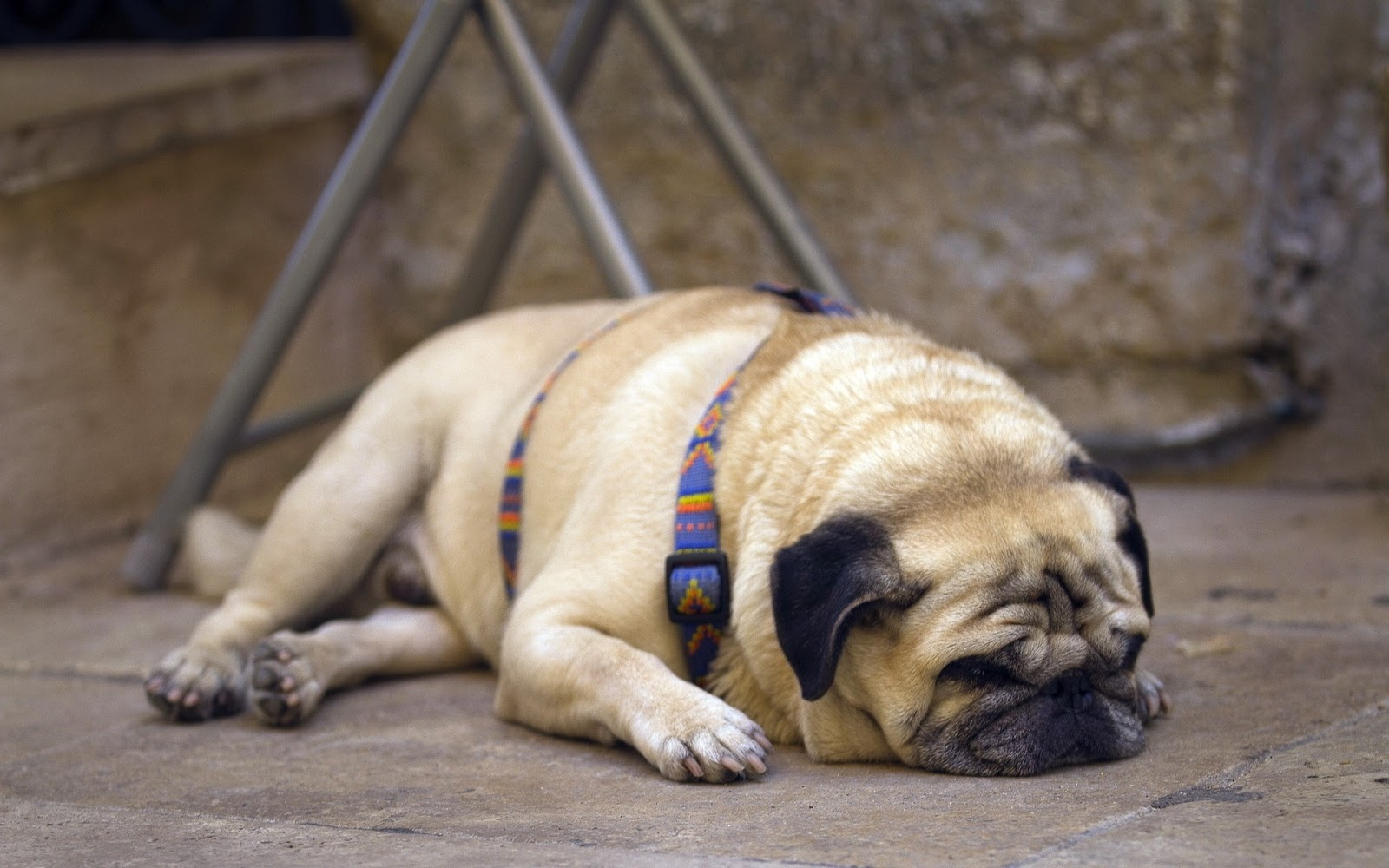 Cute Pug Puppies Wallpapers Pug Dog Best Hd Wallpapers 2013 All About Hd Wallpapers