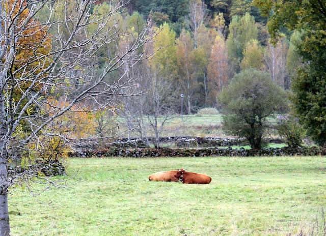 Vacas pastando, pastizales en Laciana, León