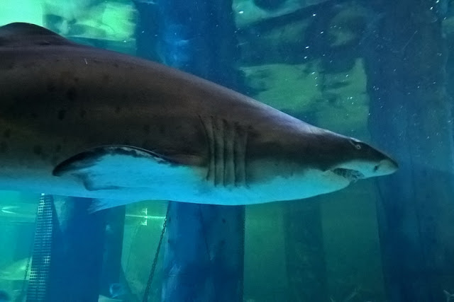 squali acquario in Italia