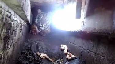 Harimau Terjebak di Kolong Ruko: Jalan 40 Km untuk Cari Makan