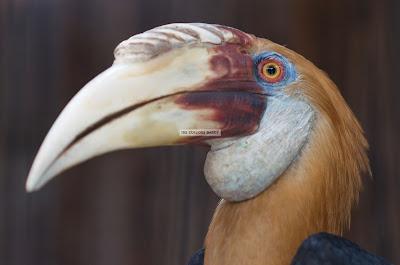 Ark Avilon Zoo - Papuan Hornbill