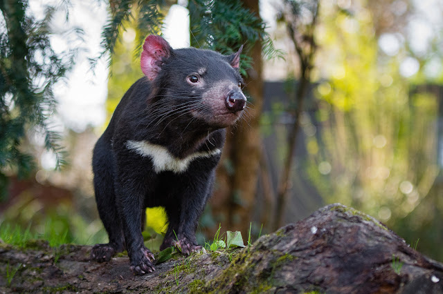 Not survival of the fittest for Tasmanian devils
