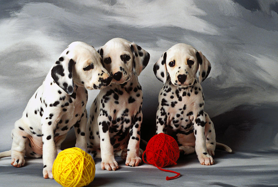Dalmatian Puppies For Sale Ontario Canada