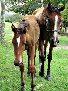 Potro e Égua Beatrix - Cabanha Costa do Cerro