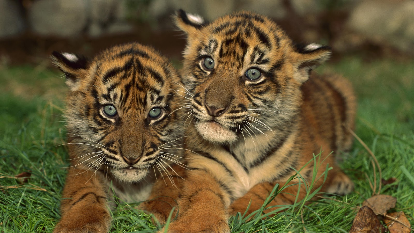 Top 35 Most Beautiful Tiger Wallpapers
