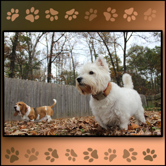 Basset and Westie in leaves