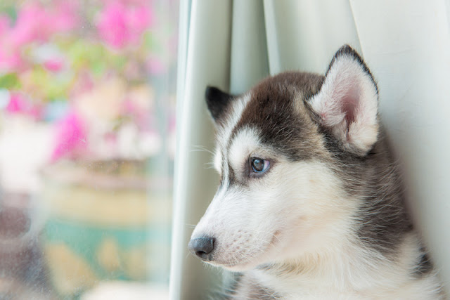 Siberian Husky puppy - but puppies from pet stores are more likely to be aggressive to owners
