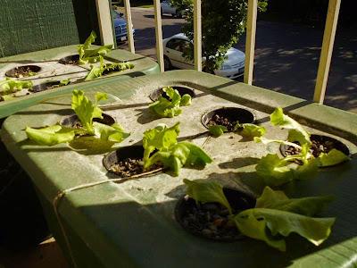 Lettuce in hydroponics