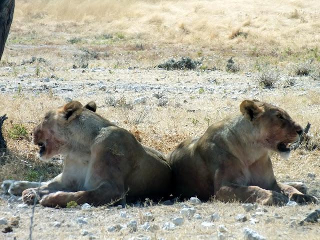 safari en Namibia, leonas