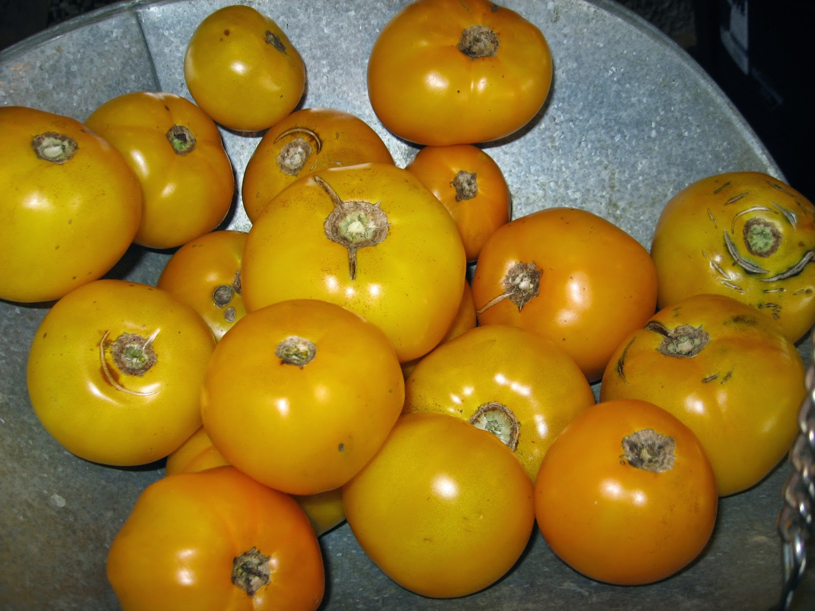 Goldie Boy tomatoes