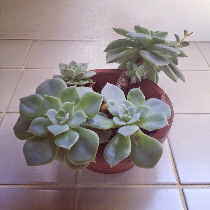 タイル床の上のエケベリア科の多肉植物
