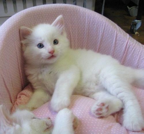 gatos domésticos atuais são uma adaptação evolutiva dos gatos selvagens.