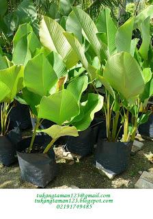 Jual tanaman pisang kalatea harga murah
