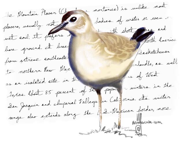 Mountain plover Bird painting by Ulf Artmagenta