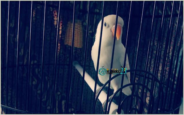 Burung lovebrid jenis burung yang banyak dipelihara Mengatasi Lovebrid Ngekek Sambil Mengepakan Sayap