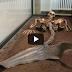 Σκελετός Γοργόνας Φυλάσσεται σε Μουσείο της Δανίας… (Βίντεο)