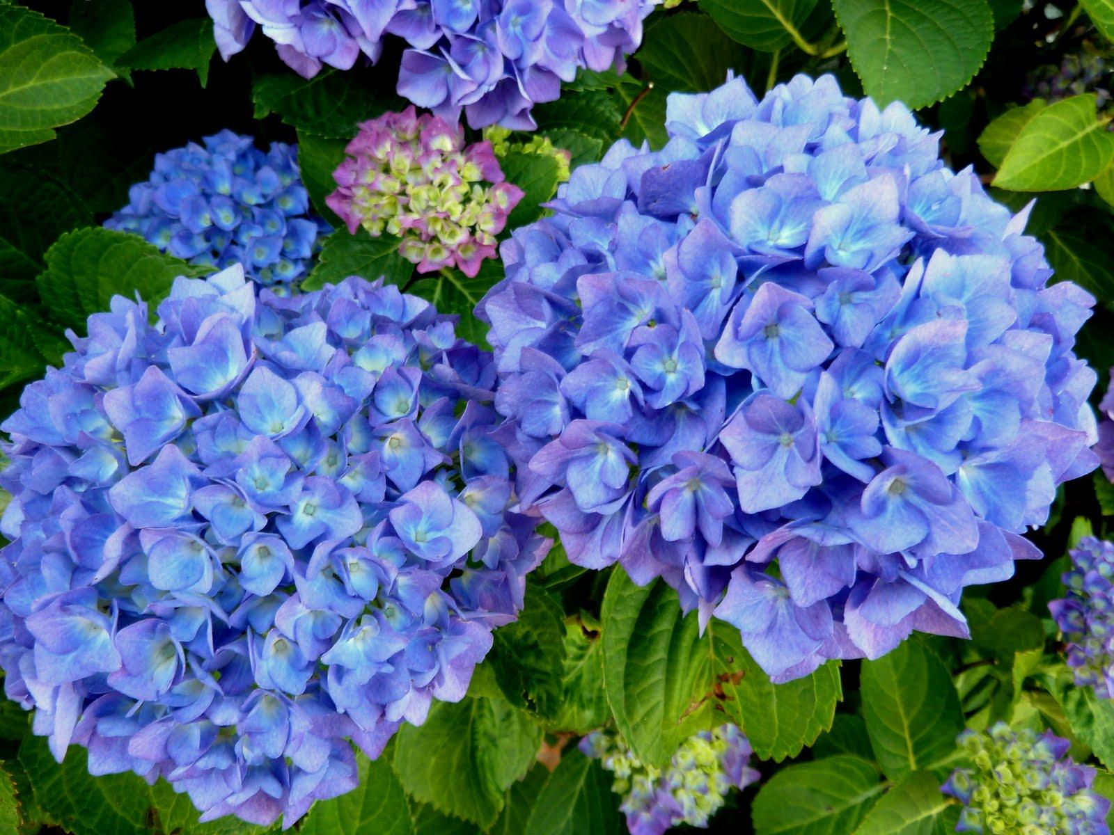morgen ist alles anders blaue hortensie. Black Bedroom Furniture Sets. Home Design Ideas