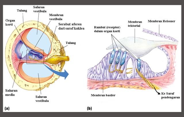 Letak Organ Korti, Struktur Organ korti