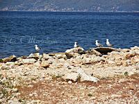 galebovi Mirca otok Brač slike