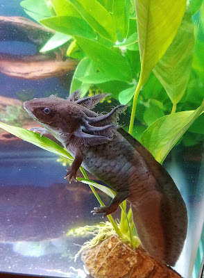 Black axolotl sitting on my anubias congensis