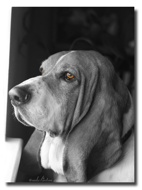 Basset Hound profile in B&W