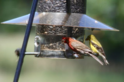 House finch (red) Goldfinch (yellow)
