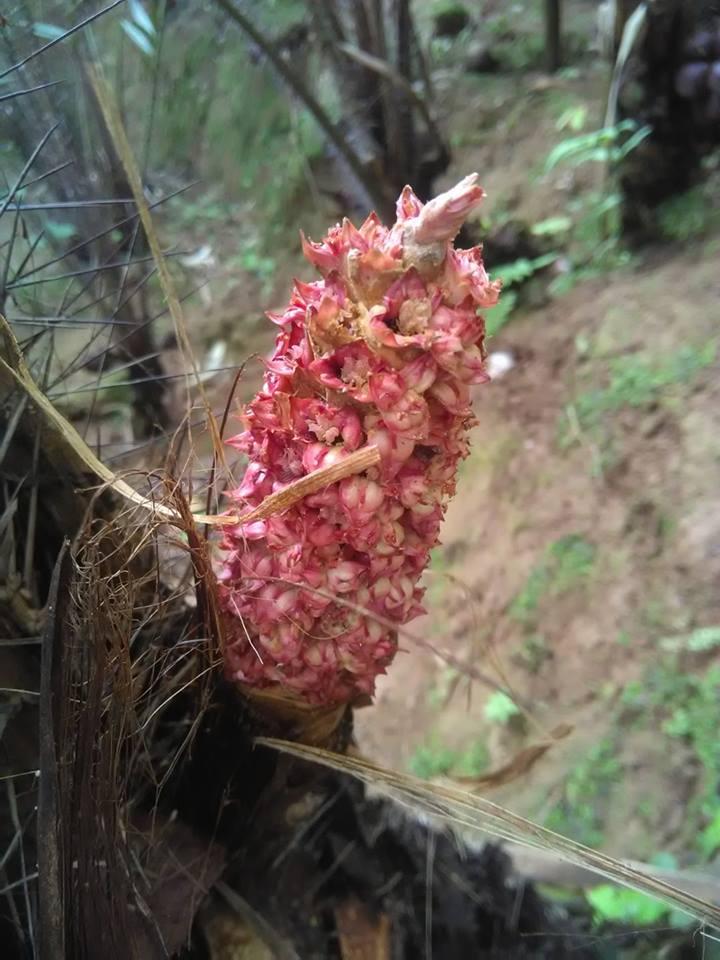 bunga salak betina
