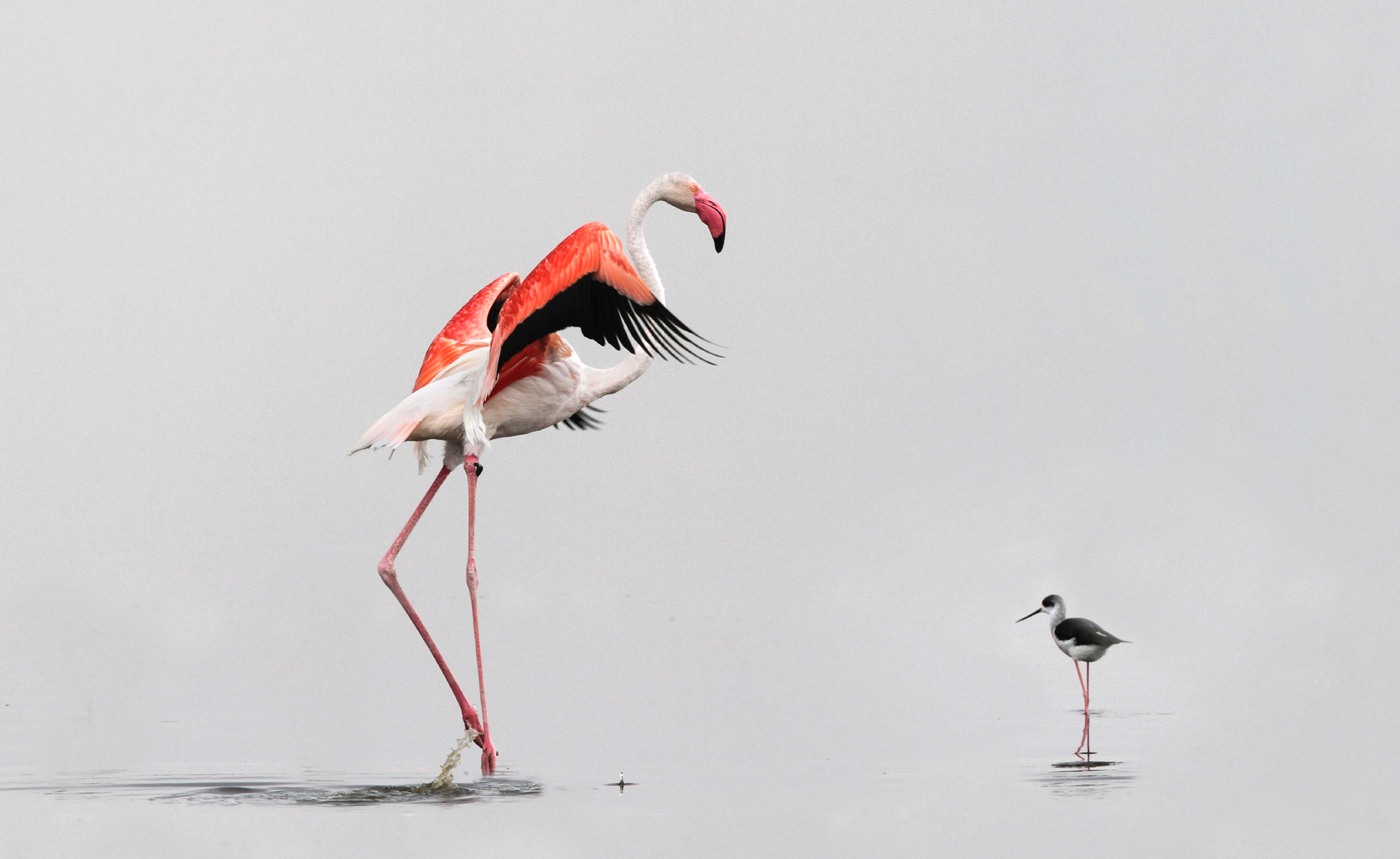 GREATER_FLAMINGO_and_STILT%255B1%255D.jpg