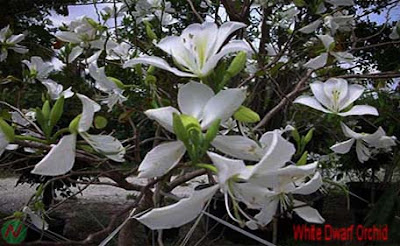 white orchid-tree, white orchid-tree flower