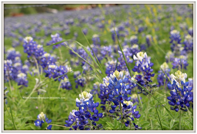 Texas Bluebonnets-Wildflowers-Texas Springtime-From My Front Porch To Yours