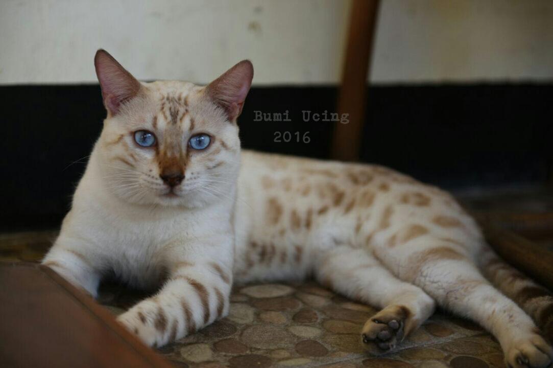Kucing Bengal Indonesia Sold Jual Kucing Bengal Snow