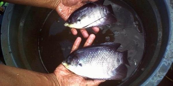 Pembesaran Benih Gurame - Budidaya Ikan Gurame