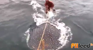 Man surfs on whale shark!