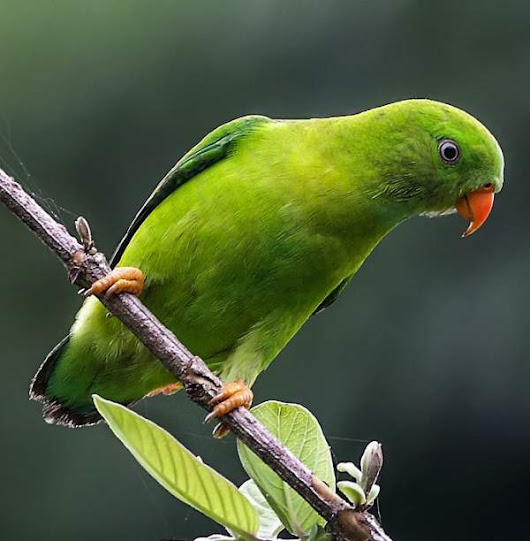 Vernal hanging parrot Images