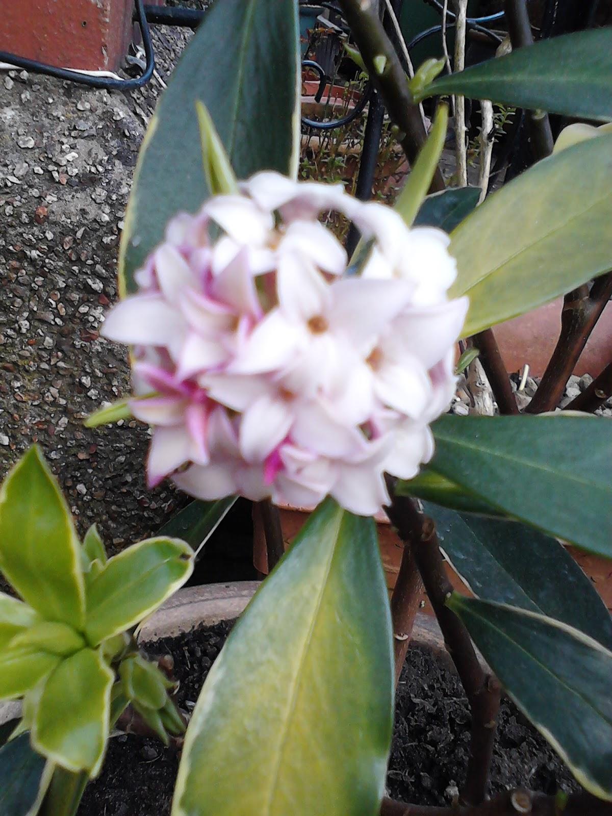 Daphne odora aureomarginata small pink flower cluster Green Fingered Blog
