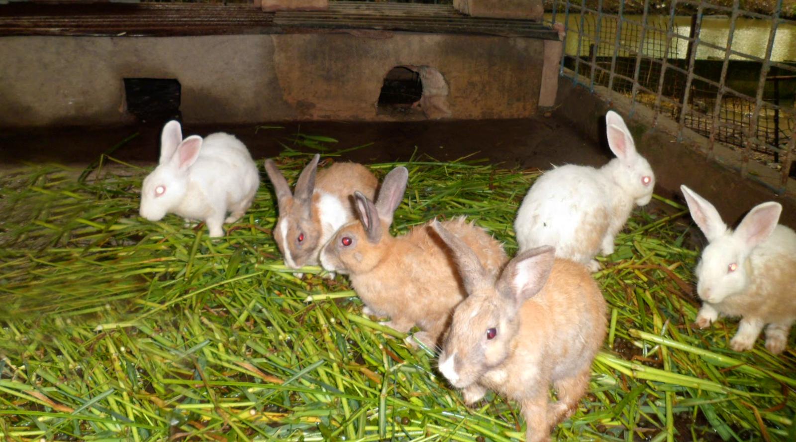 Budidaya Kelinci Menggunakan Pakan Limbah Industri Pertanian Sebagai Salah Satu Alternatif Pemberdayaan Petani Miskin