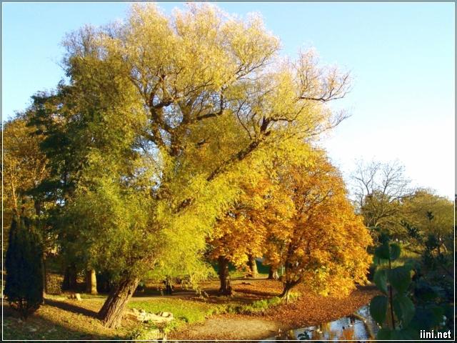 ảnh cây lá mùa thu vàng đẹp